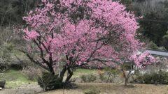うちの花桃